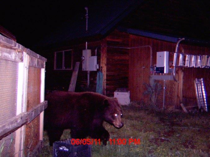 Oregon Black Bear