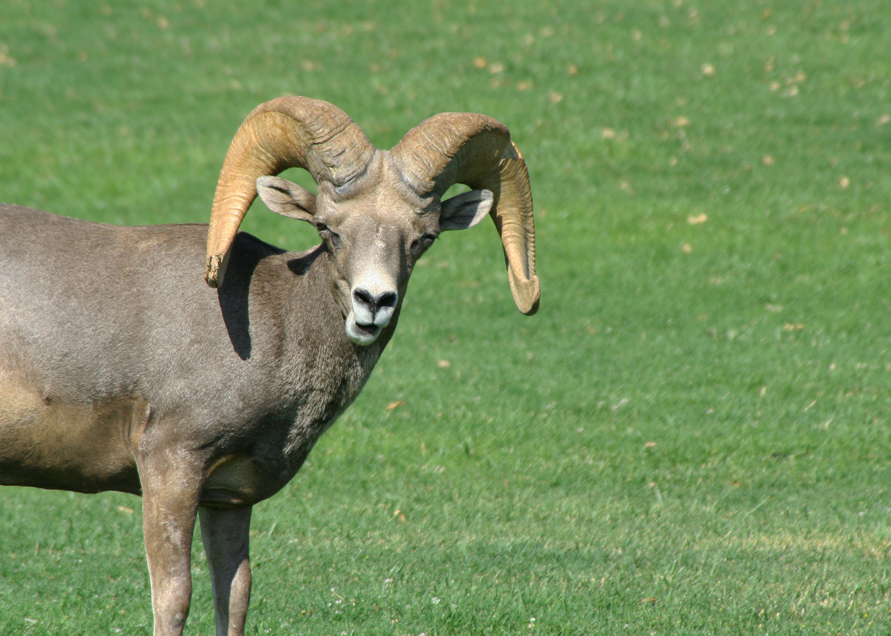 Desert Bighorn Sheep Wandering Through Time And Place