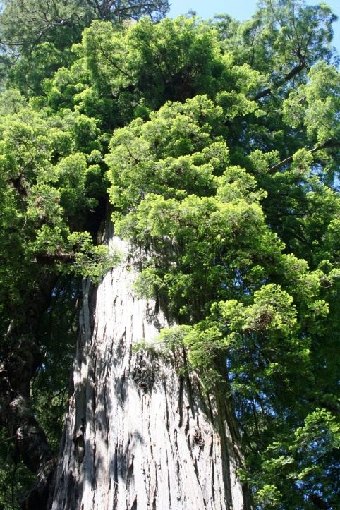 A final view of the 1500 year old rightfully named Big Tree in Prairie Creek Redwoods State Park.
