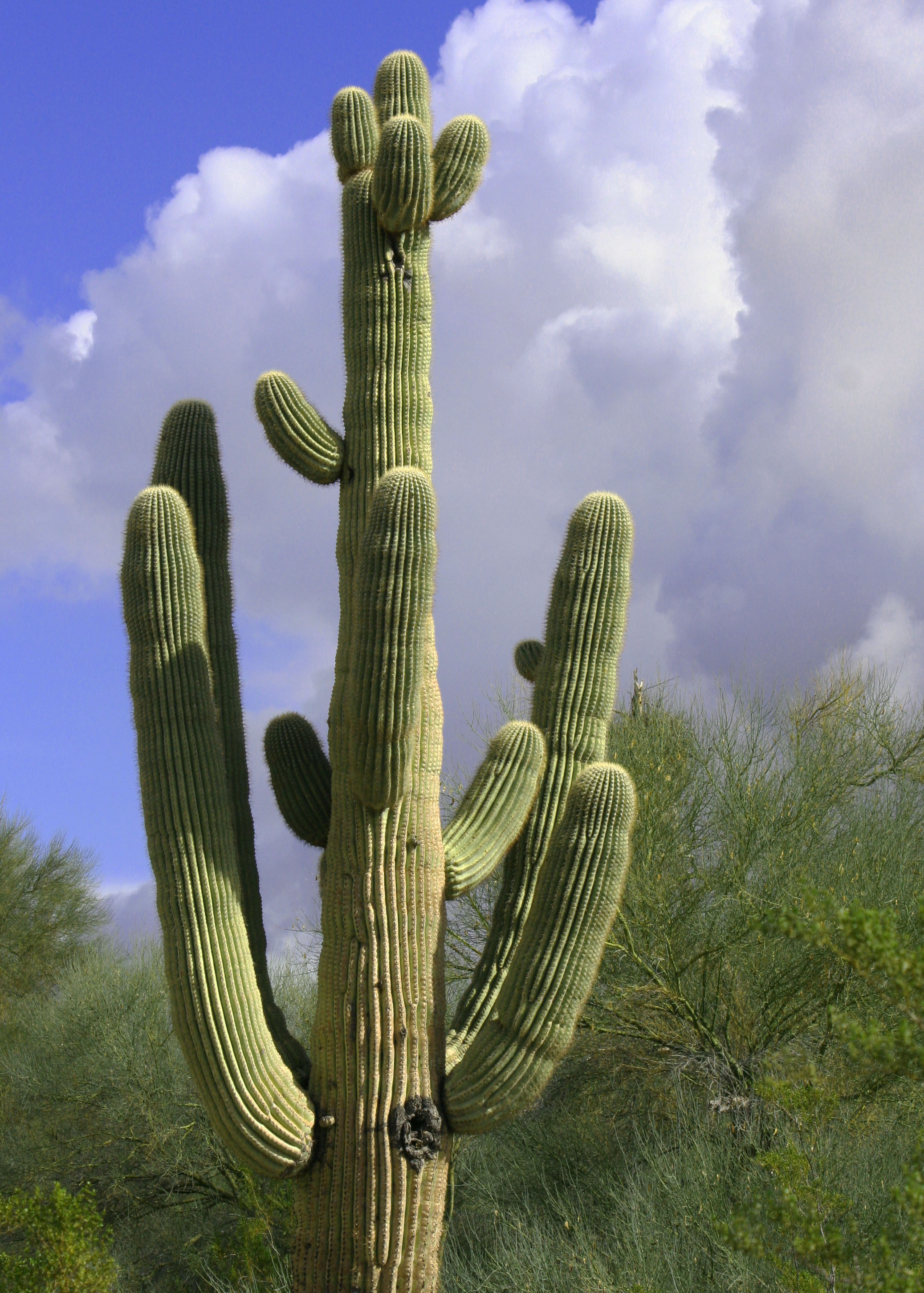 Saguaro Cactus Wandering Through Time And Place