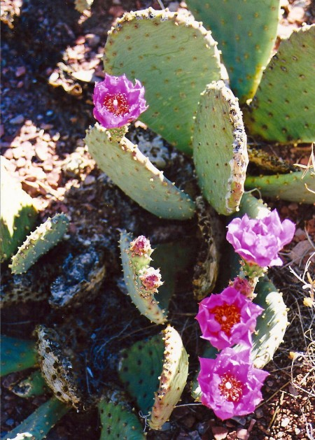 I smiled at the Prickly Pear Flowers on my way out of the Canyon that I had growled at coming in.