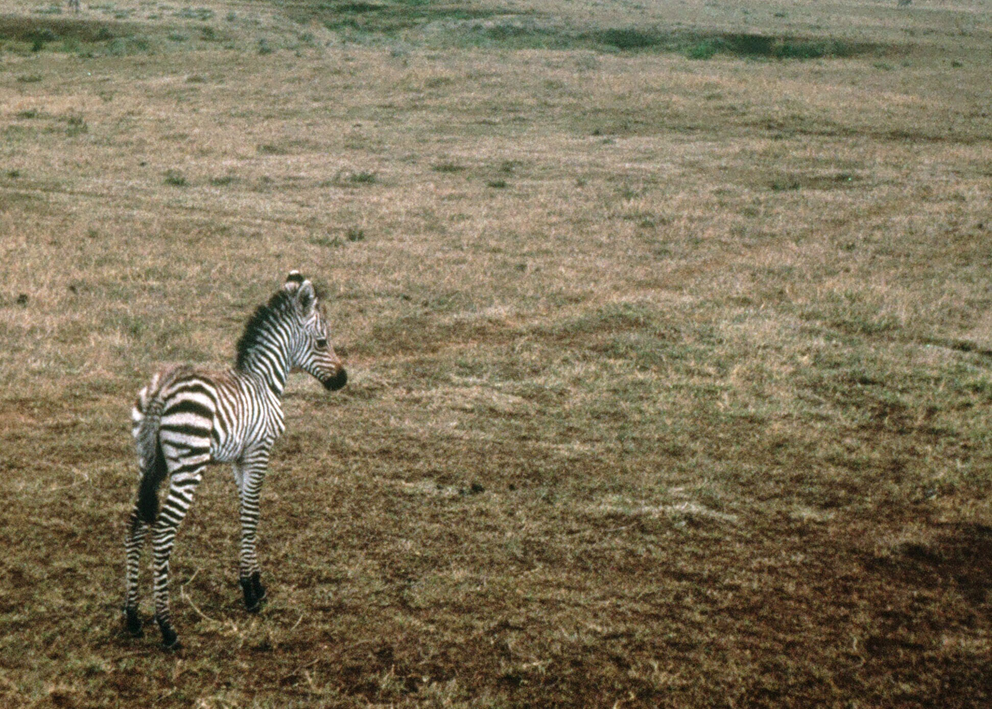 On the opposite end of the food chain from the lion, was this cute baby zebra I photographed in Ngorongoro Crater. Mom was standing nearby.