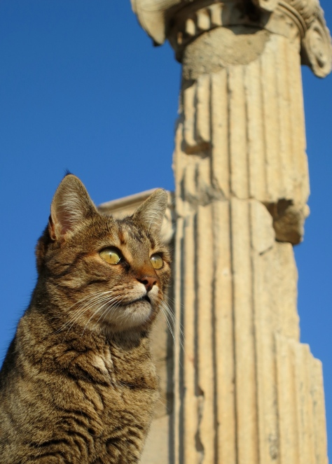 This handsome Ephesus cat conveniently sat in front of another Ionic column.