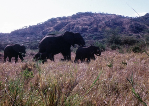 I climbed out of our VW bug to photograph this elephant family in Manyara National Park with my Kodak Instamatic. Ah that I would have had a better camera.