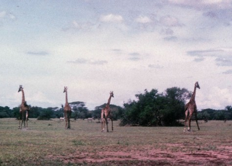 Captured on my inexpensive Kodak Instamatic camera, these giraffes were running away from our VW bug as we chased them across the Serengetti Plains of Tanzania.