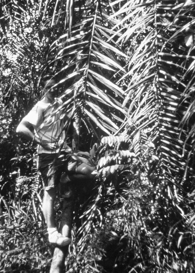 Hidden by palm fronds, I climb up a Kpelle ladder I discovered on one of my jungle hikes. Notches in a trunk serve as rungs.