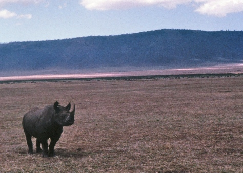 George, the Rhino, stood quietly and watched us in Ngorongoro Crater until I was precariously perched on our landrover to take his photo... The he charged.
