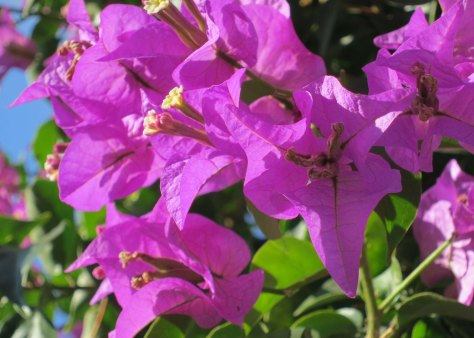 Bougainvillea seems to be the flower of choice in Mykonos.