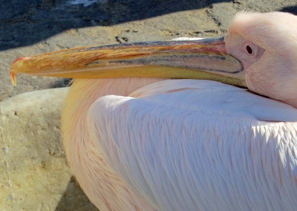 A final cose up of Petros, the White Pelican of Mykonos.