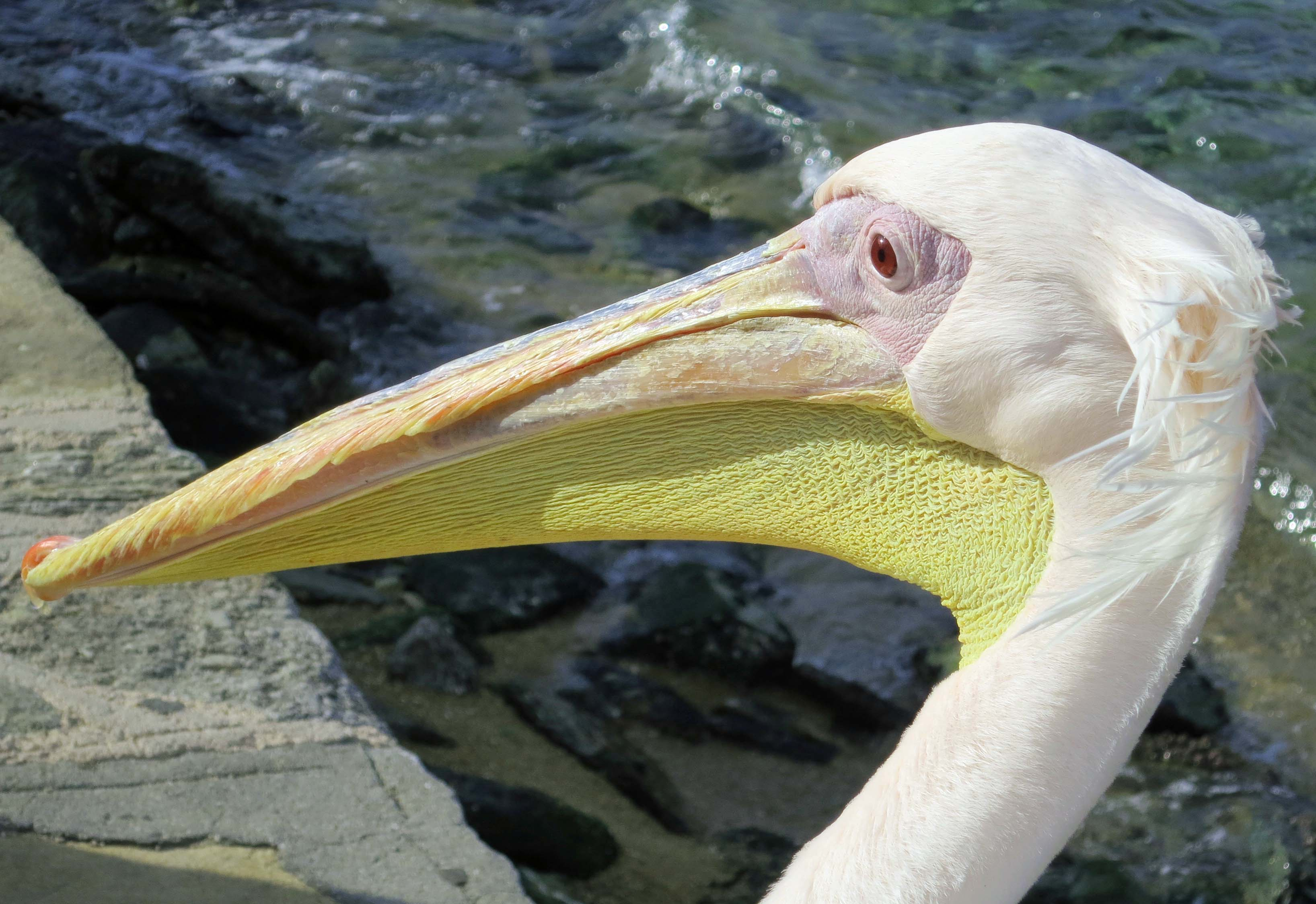 """What a wonderful bird is the pelican, whose beak can hold more than his belly can."" Pelicans are my absolute favorite bird and I have never met a more impressive specimen than Petros of Mykonos."