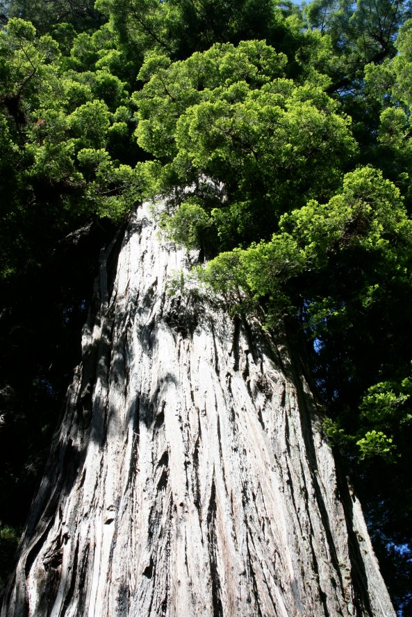 A towering Redwood on the north coast of California.