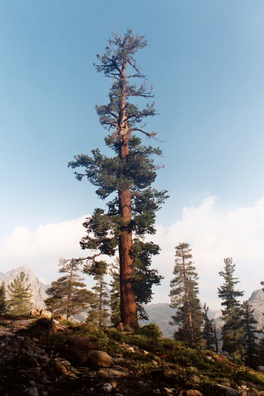 It's towering trees...