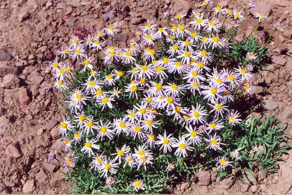Sierra flowers