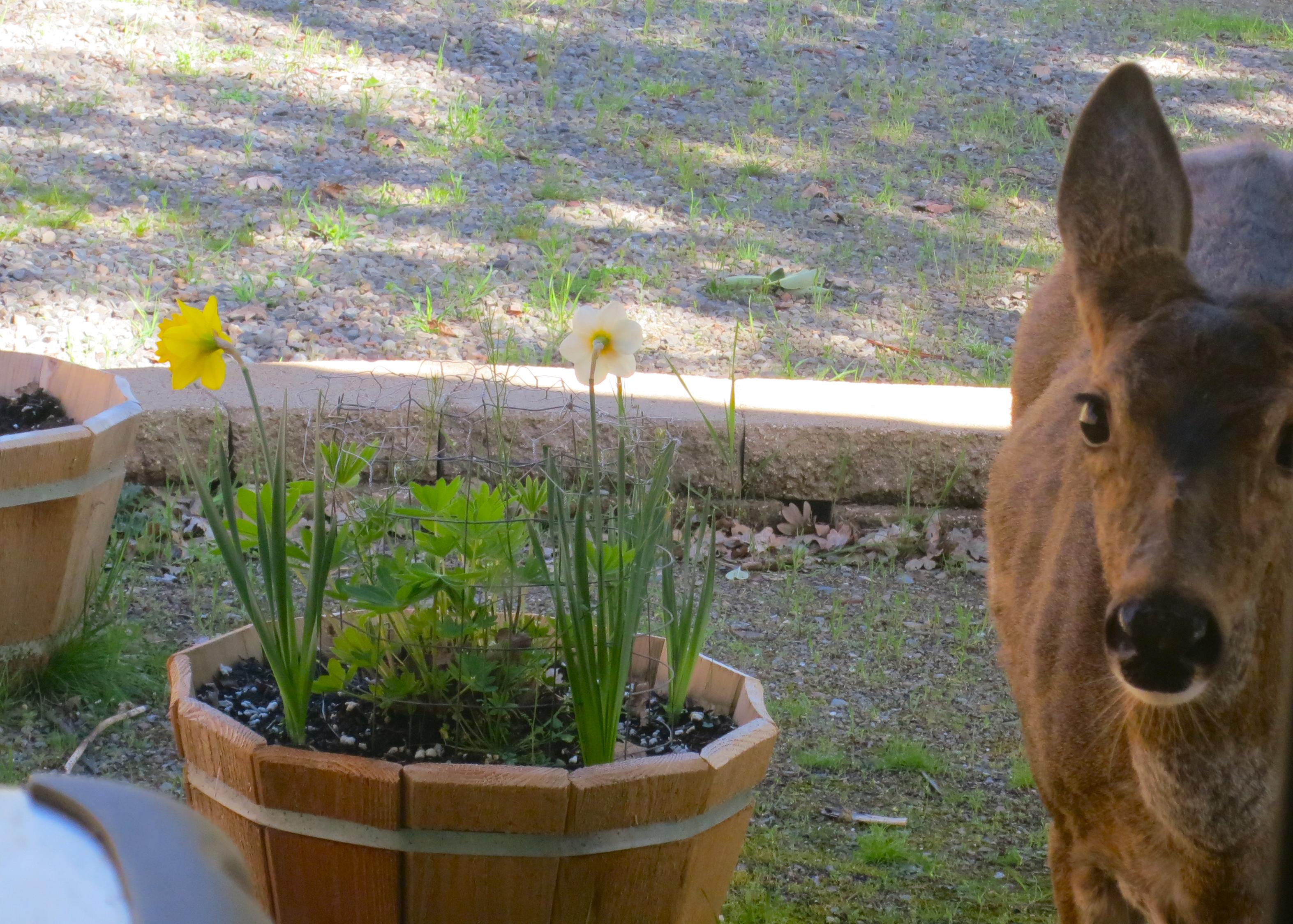 Oregon Black Tail Deer