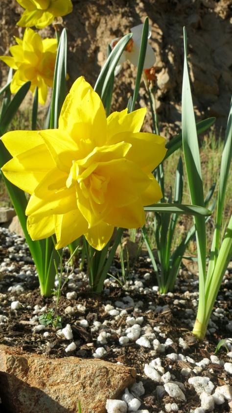 Deer proof daffodil