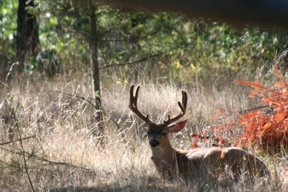 One of the bucks that considers our property part of his territory.