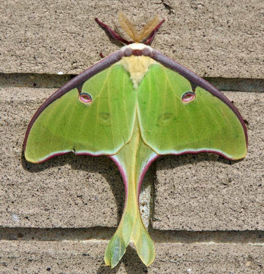We found this Luna Moth on the Natchez National Parkway.