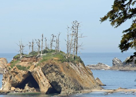 Cormorants nesting on an offshore island in Oregon.
