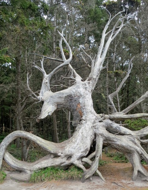 Dragon tree roots at Shore Acres State Park on the Oregon Coast.