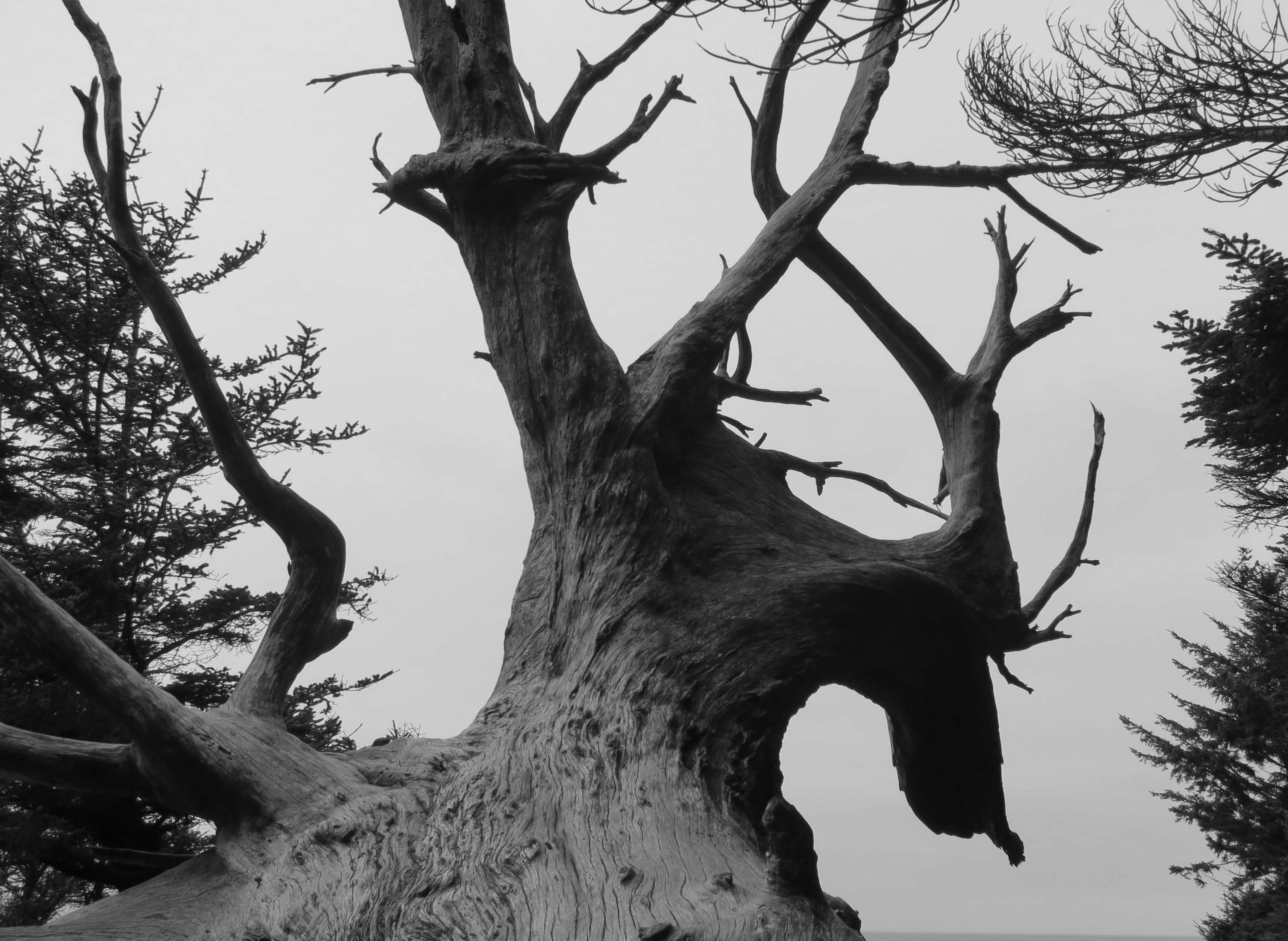 Dragon Tree on Oregon Coast