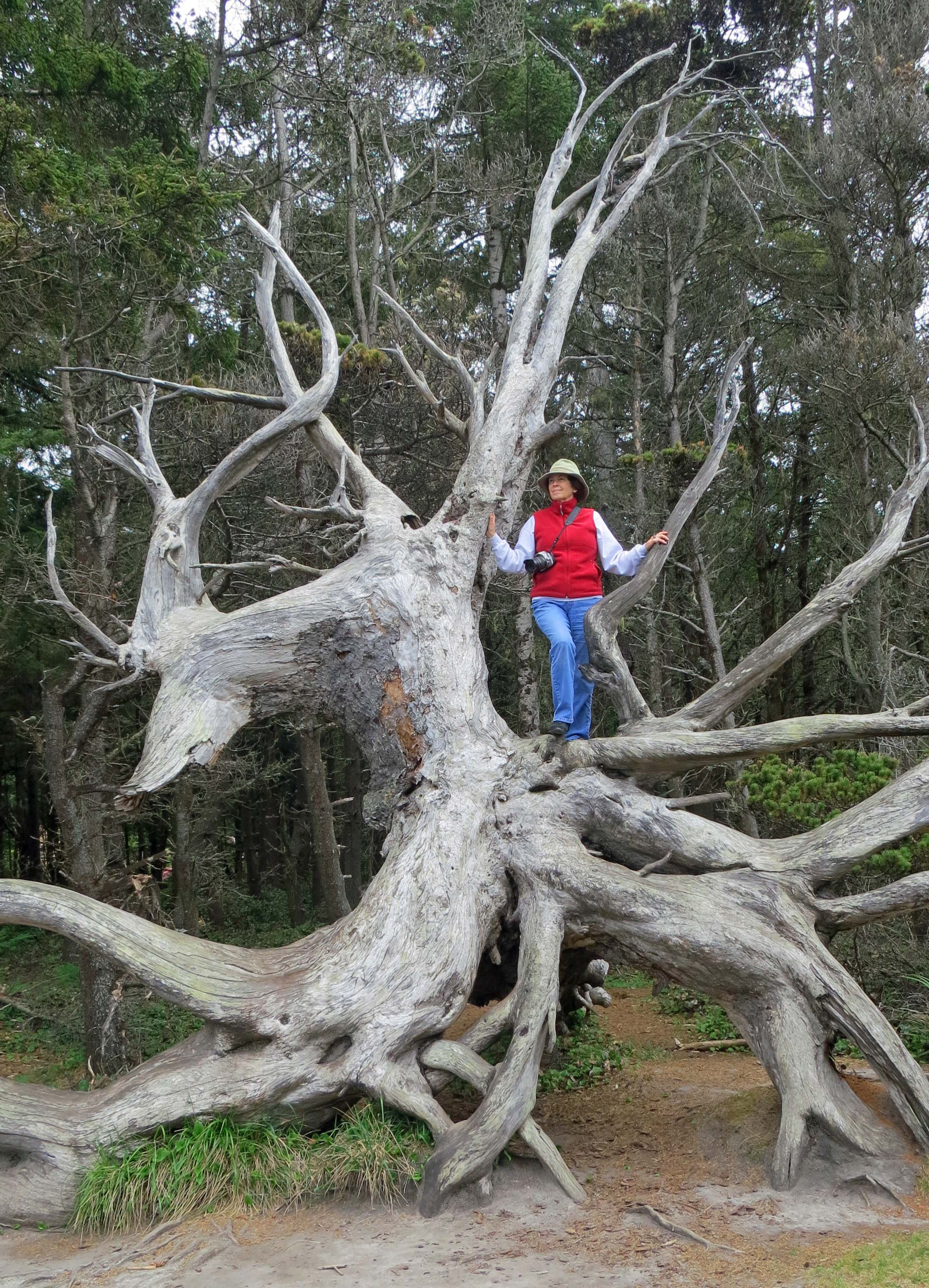 Dragon Tree at Shore Acres State Park, Oregon