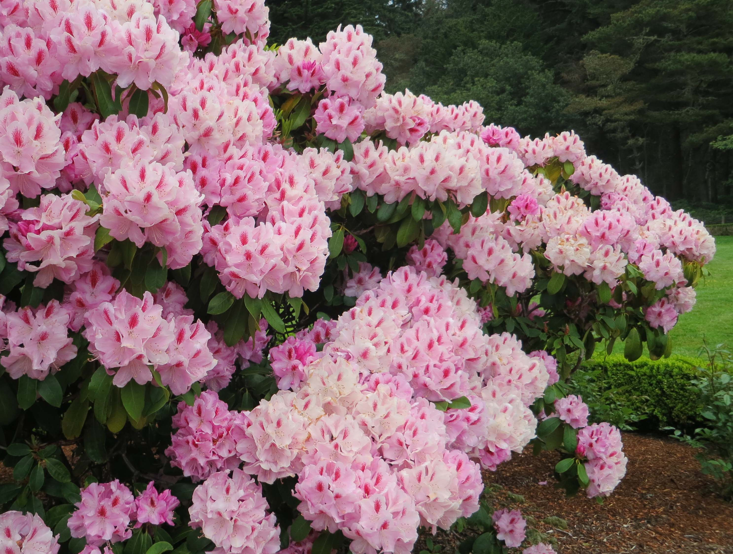 Rhododendrons at Shore Acres State Park in Oregon