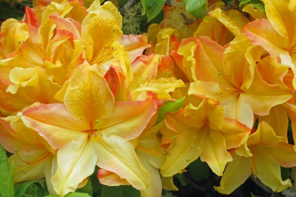 These Azaleas/Rhododendrons displayed one of many colors and shapes on display at Shore Acres State Park.