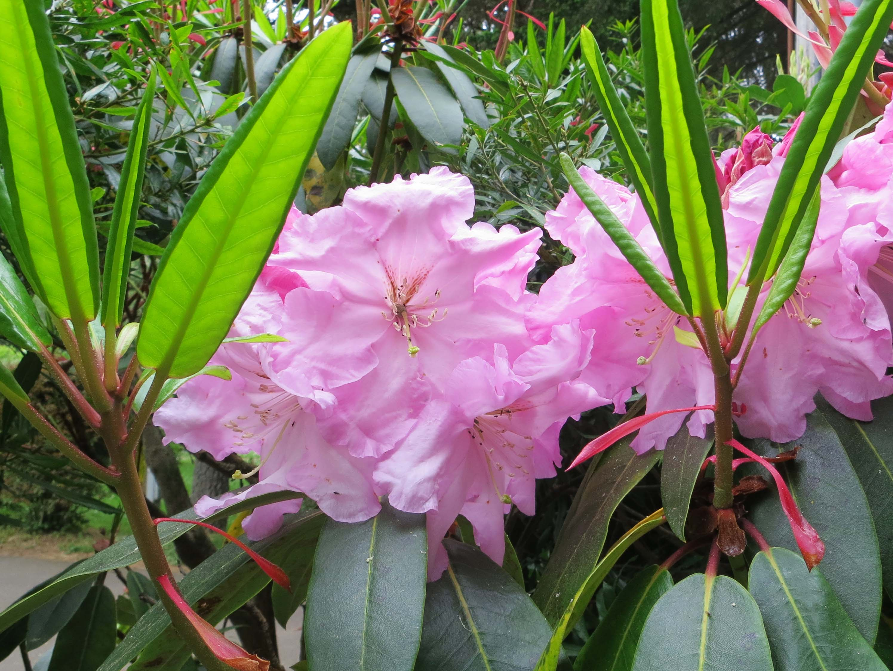 Rhododendrons at Sunset Bay State park in Oregon
