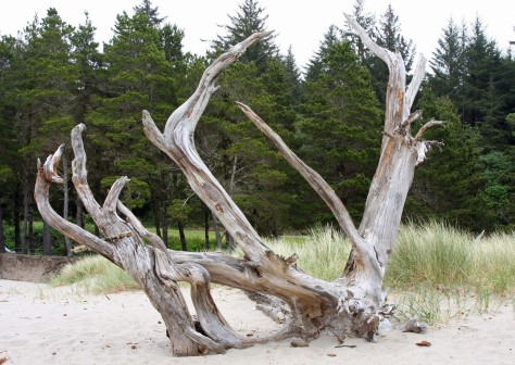 Tree roots on Oregon Coast.