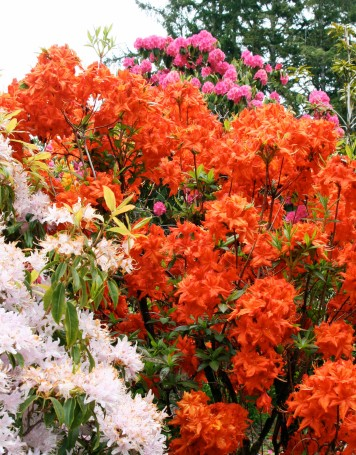 Peggy caught the riotous colors of the Rhododendrons in this photo. (Photo by Peggy Mekemson.)