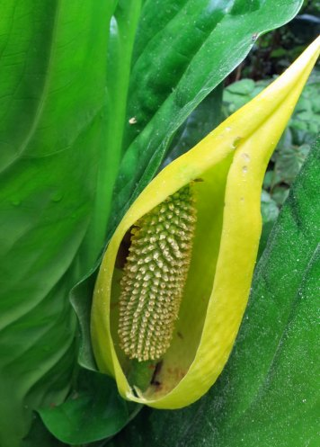 Skunk Cabbage flower on the Oregon Coast.
