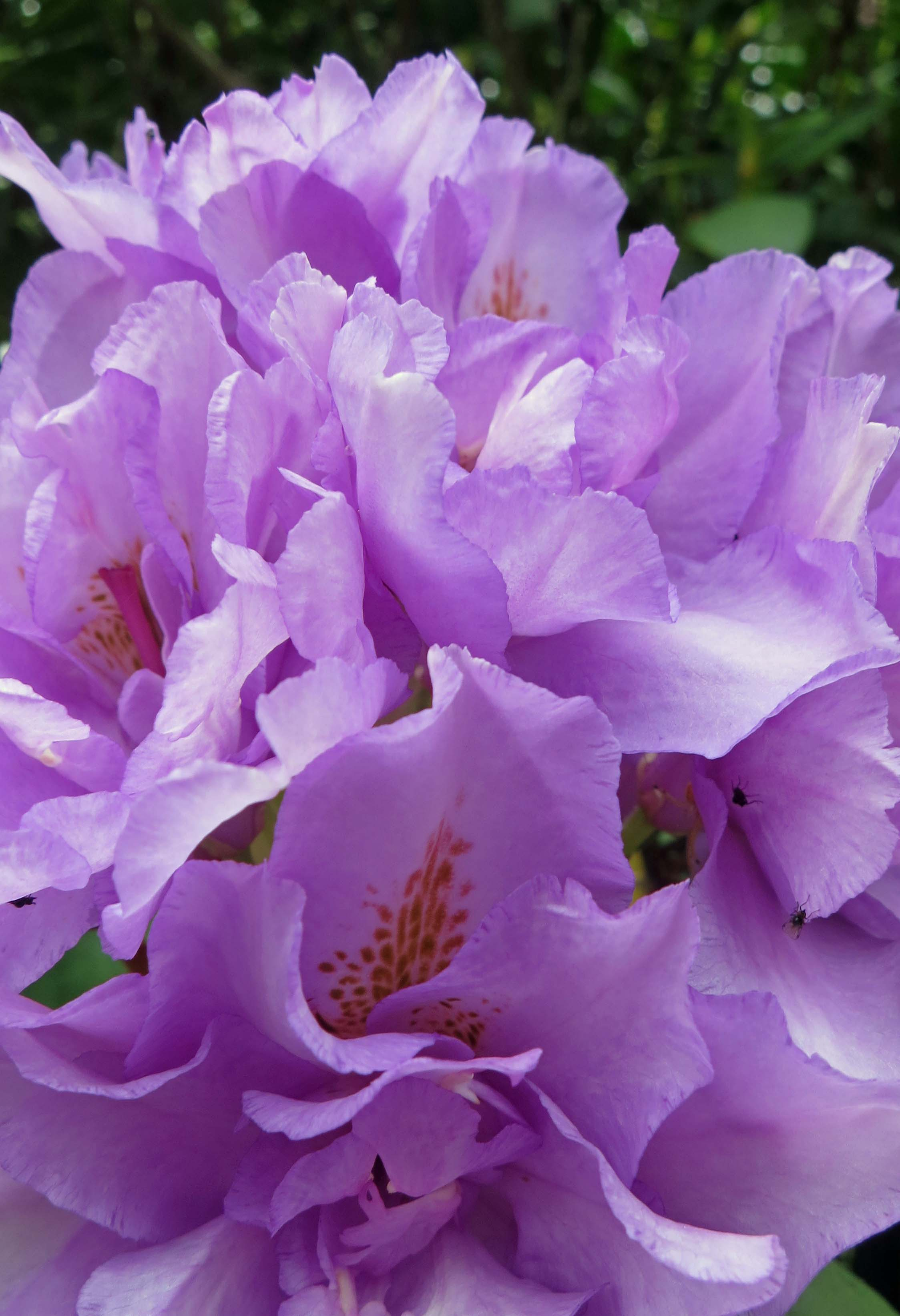 Violet Rhododendrons at Shore Acres State Park in Oregon.