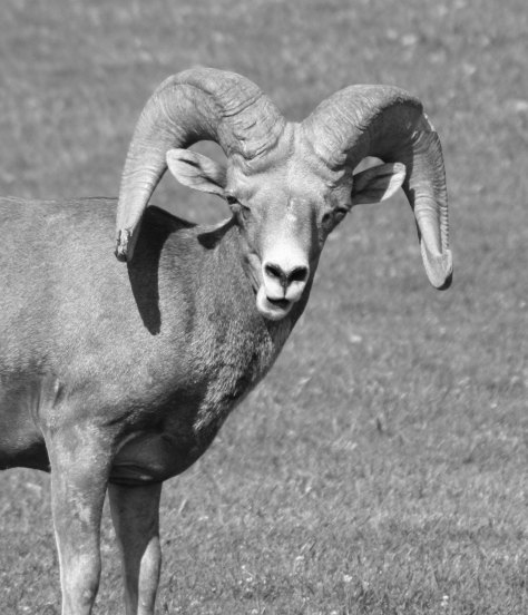 I took this photo of a bighorn sheep near Lake Mead in southern Nevada. He had come down from the mountains to take advantage of the green grass of a small park.