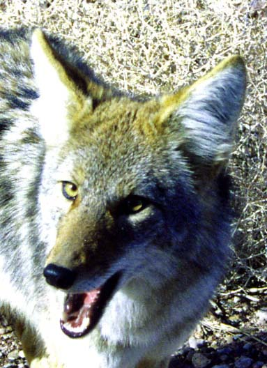 Photo of Coyote in Death Valley near Scotty's Castle.