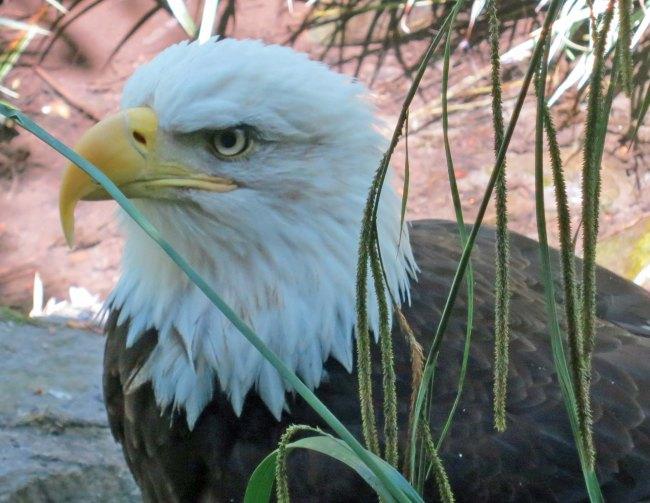Close up of Bald Eagle