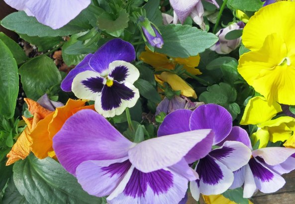 Pansies in jacksonville, Florida.