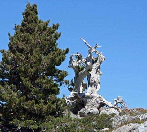 Juniper snag in Northern Sierra Nevada Mountains of California.