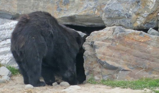 Black bear entering cave in Alaska.