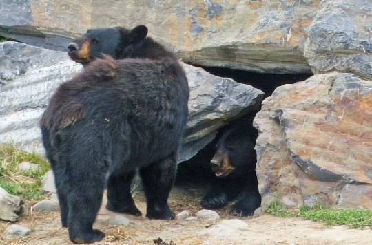 Black bear with cave in Alaska