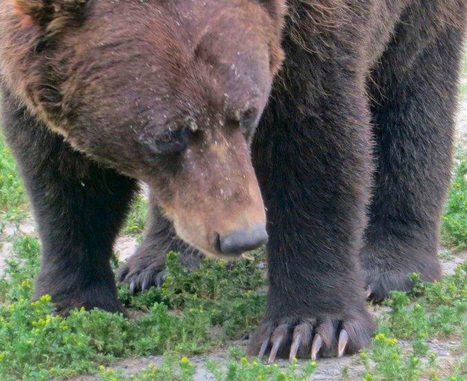 Alaska Brown Bear displaying his claws.
