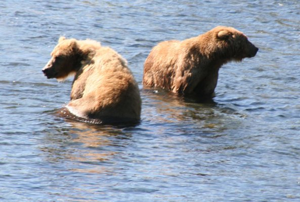 Kodiak bears tend to be solitary animals but do come together when abundant food is available.