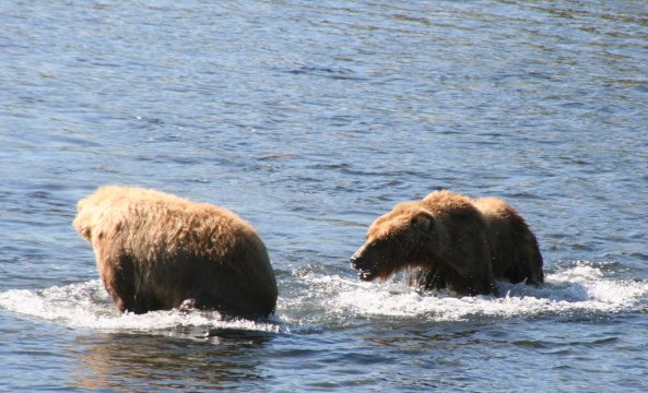 While the Kodiak Bears are not territorial, arguments may ensue in close conditions. We could here the growling.