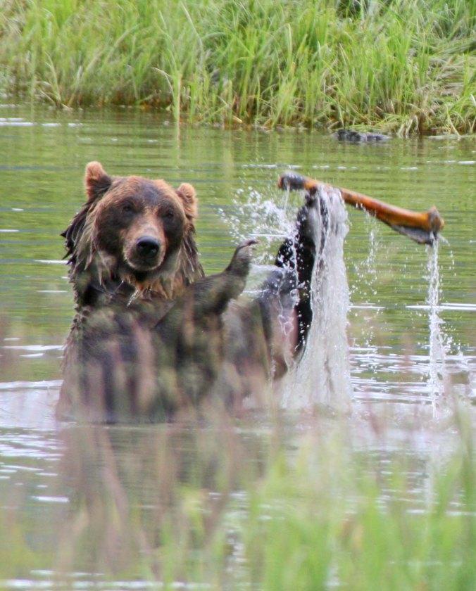 Alaska Brown Bear playing with moose bone.