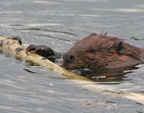 Beaver eating on Toad River in northern BC