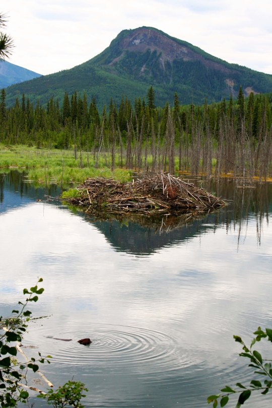 Beaver and beaver lodge on Toad River