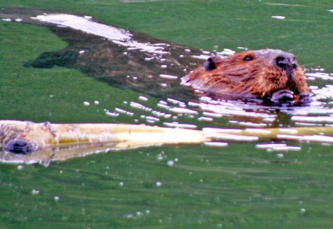 Beaver swimming on Toad River in northern BC