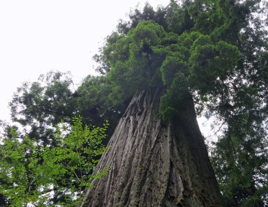 Big Tree at Redwoods National Park.