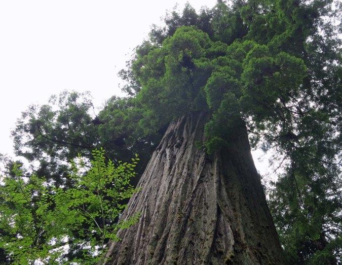Big Tree at Redwoods National Park.