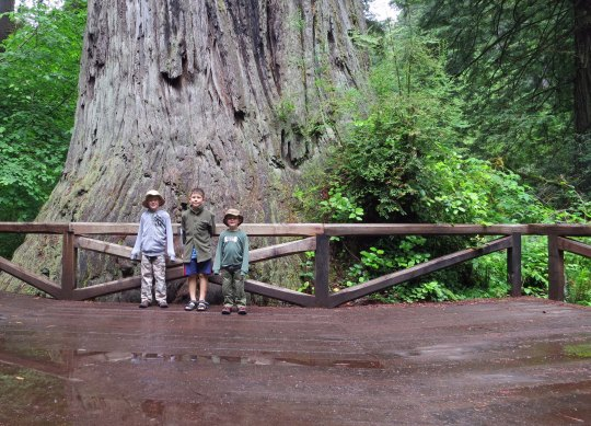 Big Tree in Redwoods National Park.
