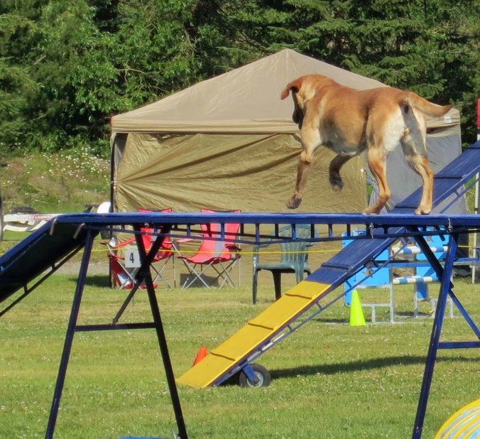 Dog agility trials at Quesnel, BC